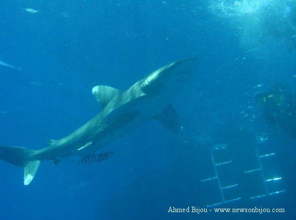 Squalo longimano, carcharhinus longimanus