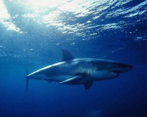 Carcharodon carcharias WHITE SHARK